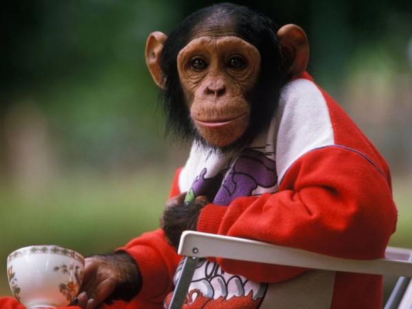 This chimp wants Jay's job.